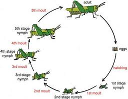 metamorfosis belalang